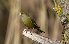 Greenfinch (billywhiz07) Tags: green finch bird uk winter