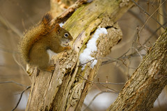 A Winter Snack (Eric Tischler) Tags: squirrel ohio winter metroparks red