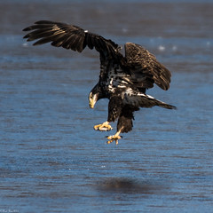 The eagle is landing (Fred Roe) Tags: nikond7100 nikonafsnikkor200500mm156eed nature naturephotography national wildlife wildlifephotography birds birding birdwatching birdwatcher birdinflight baldeagle haliaeetusleucocephalus peacevalleypark outside flickr coth5