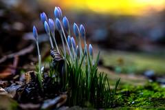 Bereit (günter mengedoth) Tags: irix28150mmmacro11 irix28150mmmacro11dragonfly pentax pentaxk1 macro manuell nahaufnahme bokeh blume blüte krokus blau frühling garten park