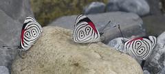 Diaethria neglecta (hippobosca) Tags: insect lepidoptera butterfly peru macro diaethrianeglecta nymphalidae