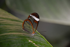 Glasswing Butterfly (Greta oto) (Seventh Heaven Photography) Tags: gretaoto glasswing butterfly insect animal wildlife nikond3200 papillon