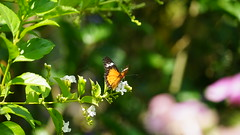 2019-02-11_12-38-06_ILCE-7M2_DSC063361_Kiri (Miguel Discart (Photos Vrac)) Tags: 2019 240mm animal animalphotography animals animalsupclose animaux butterfly chiangmai fe24240mmf3563oss fleurs flowers focallength240mm focallengthin35mmformat240mm holiday ilce7m2 iso320 nature naturephotography papillon pet sony sonyilce7m2 sonyilce7m2fe24240mmf3563oss thailand thailande travel vacances voyage