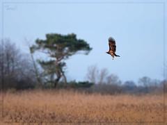 sea eagle (Thomas Heuck) Tags: vögel birds seeadler seaeagle wildlife gristow greifswald natur nature olympus em1markii baum tree