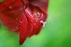 Red Amaryllis (lfeng1014) Tags: redamaryllis amaryllis lily macro macrophotography canon5dmarkiii ef100mmf28lmacroisusm waterdroplets closeup bokeh depthoffield dof light centennialparkconservatory toronto lifeng