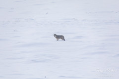 February 23, 2019 - A lone coyote in the snow. (Tony's Takes)