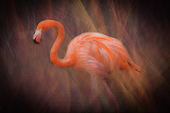 Flamingo (judy dean) Tags: judydean 2019 birdland flamingo hss texture ps pink bird