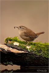 Wren eating small insect (Gertj123) Tags: bokeh netherlands nature bird insect tree water brown birdwatching avian arjantroost spring canon hide holterberg