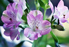 Real or... ethereal? (Pensive glance) Tags: lily lys peruvianlily liiyoftheincas alstroemeria lyspéruvienlys des incas flower fleur
