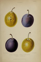 n546_w1150 (BioDivLibrary) Tags: gardening horticulture usdepartmentofagriculturenationalagriculturallibrary bhl:page=57724143 dc:identifier=httpsbiodiversitylibraryorgpage57724143 artist:name=augustainneswithers augustainneswithers hernaturalhistory