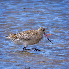 south from siberia - bar-tailed godwit #1 (Fat Burns ☮) Tags: bartailedgodwit limosalapponica bird australianbird fauna australianfauna bribieisland nikond500 nikon200500mmf56eedvr nature outdoors wynnumnorthforeshore wynnumnorth queensland australia wildlife australianmigrantbird shorebird