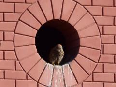 Un #cernícalo vulgar (#falco tinnunculus) hembra  #aves #birds #birdsofinstagram #falconiformes #falconidae #kestrel #xoriguer #bcn #barcelona #falconidos #pajaros #raptor #cernícalo (Carolina_BCN) Tags: cernícalo aves birds birdsofinstagram falconiformes falconidae kestrel xoriguer bcn barcelona falconidos pajaros raptor