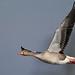Greylag Goose (explored)