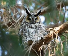 Long-Eared Owl (swmartz) Tags: nikon nature newjersey outdoors wildlife birds 200500mm 2019 march owls longeared