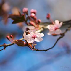 Printemps rosé (jpto_55) Tags: fleur proxi bokeh xt20 fuji fujifilm kiron105mmf28macro hautegaronne france