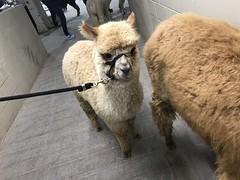 A baby alpaca (f l a m i n g o) Tags: animal alpaca cute