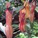 IMG_1814 Aussie Carnivorous Pitcher Plants