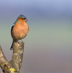 Chaffinch (Margaret S.S) Tags: bird common chaffinch male eurasian