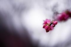 Cheery Blossom (leopc.lin) Tags: summilux 50mm 14 voigtalnder ve close focus adapter kenko dg extension tube16mm10mm sony a6000 nex flower macro leica closeup floral garden