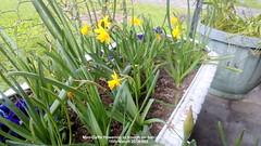 Mini-Daffs flowering in trough on balcony floor 15th March 2019 002 (D@viD_2.011) Tags: minidaffs flowering balcony floor 15th march 2019