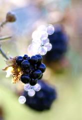 Blackberry bokeh (Jaedde & Sis) Tags: brombær bleckberry berries rubusplicatus bokeh