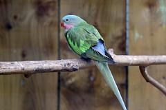Princess Parrot - Polytelis alexandrae (Roger Wasley) Tags: princess parrot polytelisalexandrae bird captive australia alexandra denmark australian queen parakeet alexandras princessofwales rosethroated spinifex