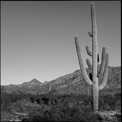 Desert Sentinel (greenschist) Tags: creosote usa desert sonorandesert cactus cacti mountains blackwhite arizona saguaro pinalcounty santanmountainregionalpark carnegieagigantea