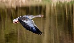 fullsizeoutput_1677 (h.herbig) Tags: water wasser ganz goose waterfowl federvieh motion nikond7500 outdoor filght cute wildlife