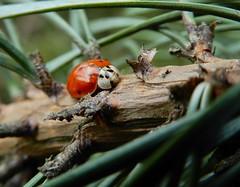 Harley! (rockwolf) Tags: harmoniaaxyridis ladybird harlequin coccinellidae coccinelle beetle insect coleoptera coccinelleasiatique pine lythhill shropshire rockwolf