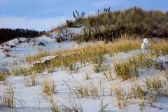 snowy owl on dunes (primemundo) Tags: dunes snowyowl owl dunegrass mound shadows islandbeachstatepark nj newjersey sand sanddunes beach