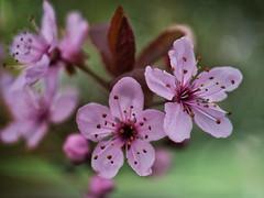 Blüten - Blossom (achim-51) Tags: panasonic lumix dmcg5 frühling spring blossom blüten natur rosa outdoor