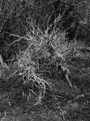(kiskami) Tags: fujifilm x30 rawtherapee blackandwhite monochrome skeleton tree