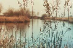 Through the tall grass (charhedman) Tags: reifelbirdsanctuary delta throughthetallgrass water ducks birds reflections lines canon6d