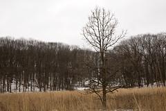 The Dead of Winter - tree in Dow Prairie (nicoangleys) Tags: winter winterwalk annarbor michigan thearb nicholsarboretum arboretum arb