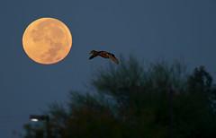 Duck Landing on Moon! (rambokemp) Tags: duck moon wildlife phoenix arizona blue sky gilbert riparian preserves birdinflight bif sunrise