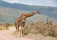 Giraffe where it belongs, Ngorongoro, Tanzania (KronaPhoto) Tags: safari tanzania africa travel giraff giraffe animal mountain ngorongoro nationalpark