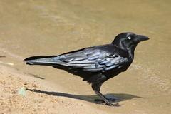 Australian raven! (Uhlenhorst) Tags: 2017 australia australien animals tiere birds vögel travel reisen