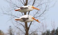 American white pelicans at Cardinal Marsh IA 653A8269 (naturalist@winneshiekwild.com) Tags: american white pelicans cardinal marsh winneshiek county iowa larry reis