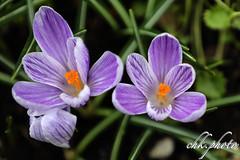 Beautiful springflowers (chk.photo) Tags: landschaft nature naturewatcher outdoor landscape natur makro naturemasterclass light ngc macro flower austria blume salzburg