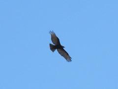 Brown Snake Eagle (Oleg Chernyshov) Tags: brownsnakeeagle circaetuscinereus бурыйзмееяд