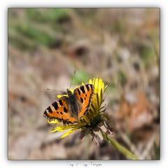Pb_4110135 (calpha19) Tags: imagesvoyagesphotography olympusomdem1mkii m60macrof28 adobephotoshoplightroom printemps 2019 flore flowers fleurs papillon butterfly proxy macro flickrsexplore ngc grangessurvologne grandest vosges