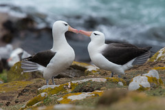 Albatross Courtship (Tim Melling) Tags: thalassarche melanophris blackbrowed albatross mollymawk falkland islands timmelling
