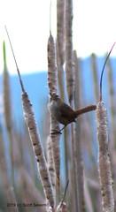 Marsh Wren (Scott Severn) Tags: coyote hills marsh wren