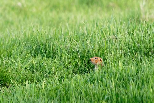 Ground squirrel ©  Alexxx Malev