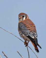 Kestrel-9 (trdunn) Tags: americankestrel kestrel colorado weldcounty raptor falcon perched blue sky nikon d850 tamron150600 falcosparverius