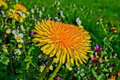 Smells like spring (Steenjep) Tags: blomst flower macro makro closeup mælkebøtte taraxacum dandelion hdr dof depthoffield