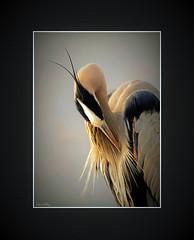 Lovely (John's Love of Nature) Tags: framed canonef70300mmf456lisusm efs18200mmf3556is canoneos7d canoneos50d canoneos30d outdoor nature johnkelley johnsloveofnature wildlife wildlifeart greatblueheron ardeaherodias