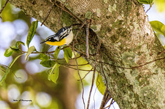 Yellow-throated Warbler (Mike_FL) Tags: nikon nikond7500 nature floridawildlife florida warbler outdor tamron100400mmf4563divcusda035 bird yellowthroatedwarbler