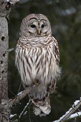Barred Owl (NicoleW0000) Tags: barredowl owl birdofprey bird wild wildlife woods forest habitat nature ontario