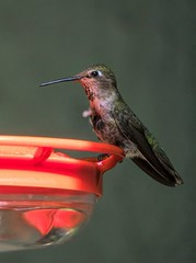 Anna's Hummingbird Close up #1 (randyherring) Tags: annashummingbird ca california calypteanna sanjose afternoon backyard bird birdfeeder depthoffield hummingbird outdoor patio wildlife